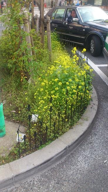 やりました!菜の花満開です_d0155439_21401415.jpg