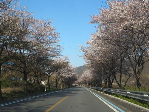 韓国料理と桜_b0100062_2221184.jpg