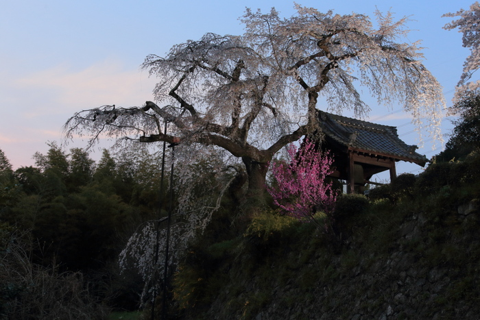 桜 2014 京都<地蔵禅院>                   _f0021869_23313988.jpg