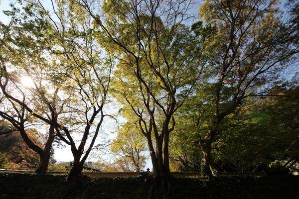 建長寺の桜_c0310571_21515328.jpg