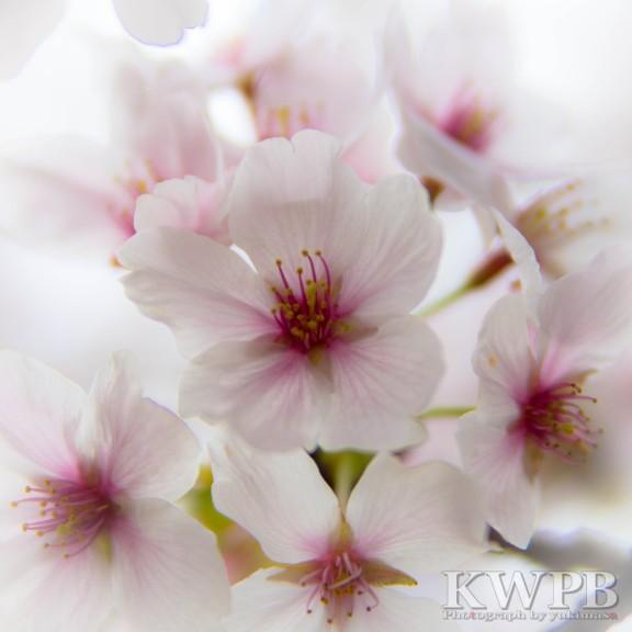 近所の桜_b0234699_22452318.jpg