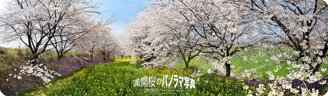 今年の桜はどうかな?_c0210599_254399.jpg