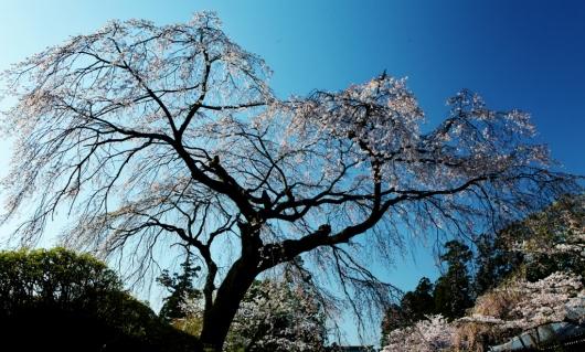 桜・光と影_b0083801_01264471.jpg