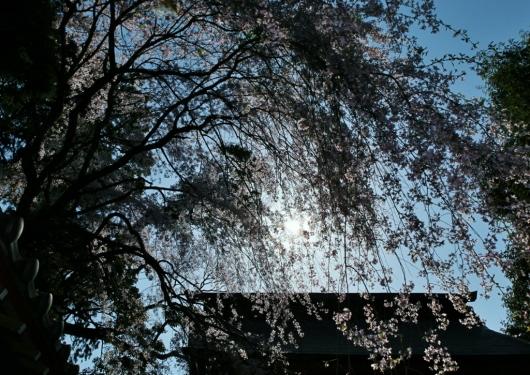 桜・光と影_b0083801_01272462.jpg