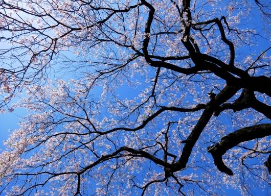 桜・光と影_b0083801_01280542.jpg