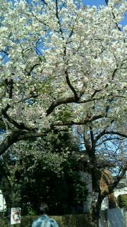 満開の桜の下で・・・_d0191211_13521151.jpg
