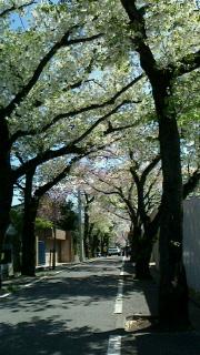 満開の桜の下で・・・_d0191211_1352529.jpg