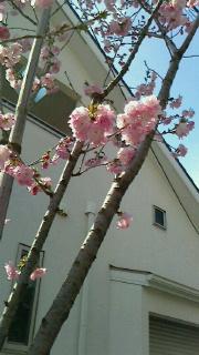 満開の桜の下で・・・_d0191211_13525436.jpg