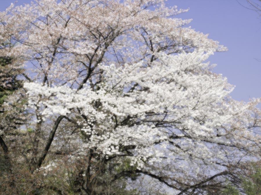 桜の後は_d0192516_14123268.jpg