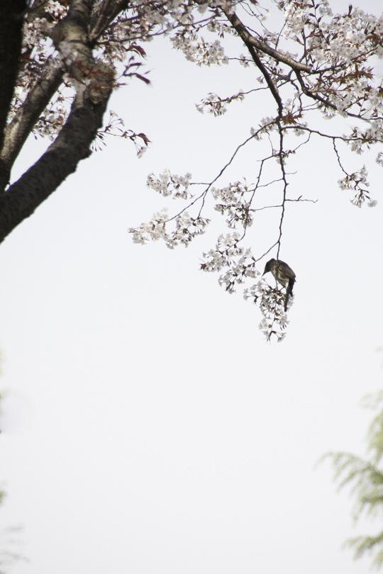 桜の後は_d0192516_14285838.jpg