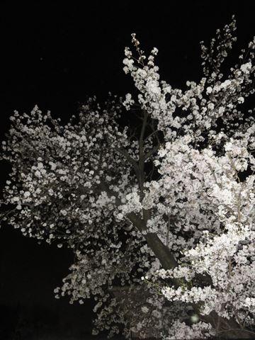 夜桜_f0034816_2574337.jpg