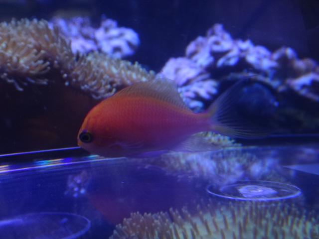 140409 海水魚・水草・金魚・淡水魚_f0189122_12472156.jpg