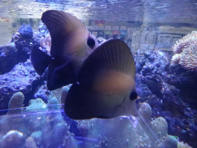 140409 海水魚・水草・金魚・淡水魚_f0189122_12475586.jpg