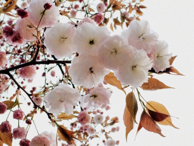 八重桜♡_a0231828_22460314.jpg