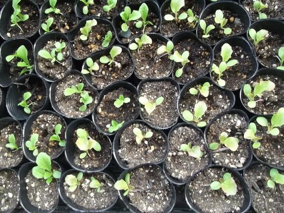 野菜の苗の成長が遅いです。_b0137932_16363036.jpg