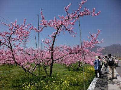山梨市の桃は満開♪_f0019247_21493719.jpg