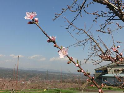 山梨市の桃は満開♪_f0019247_2221977.jpg