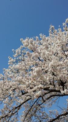 桜。_e0168583_17583674.jpg