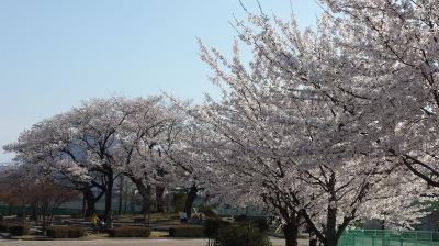 桜。_e0168583_183865.jpg