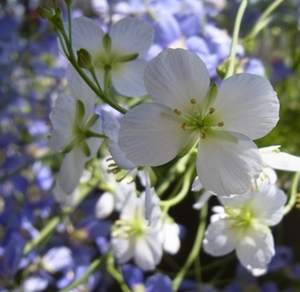ヘリオフィラの花_c0237493_8284185.jpg