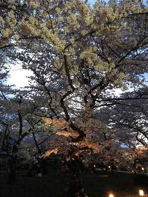 夜桜_a0273699_1295796.jpg