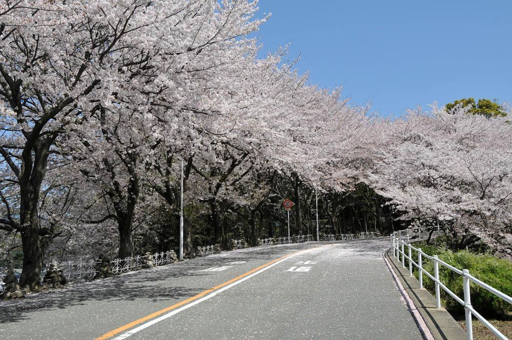 福女短・福岡国際大の桜 2014_a0042310_11392118.jpg