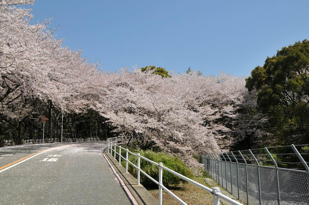 福女短・福岡国際大の桜 2014_a0042310_11393218.jpg