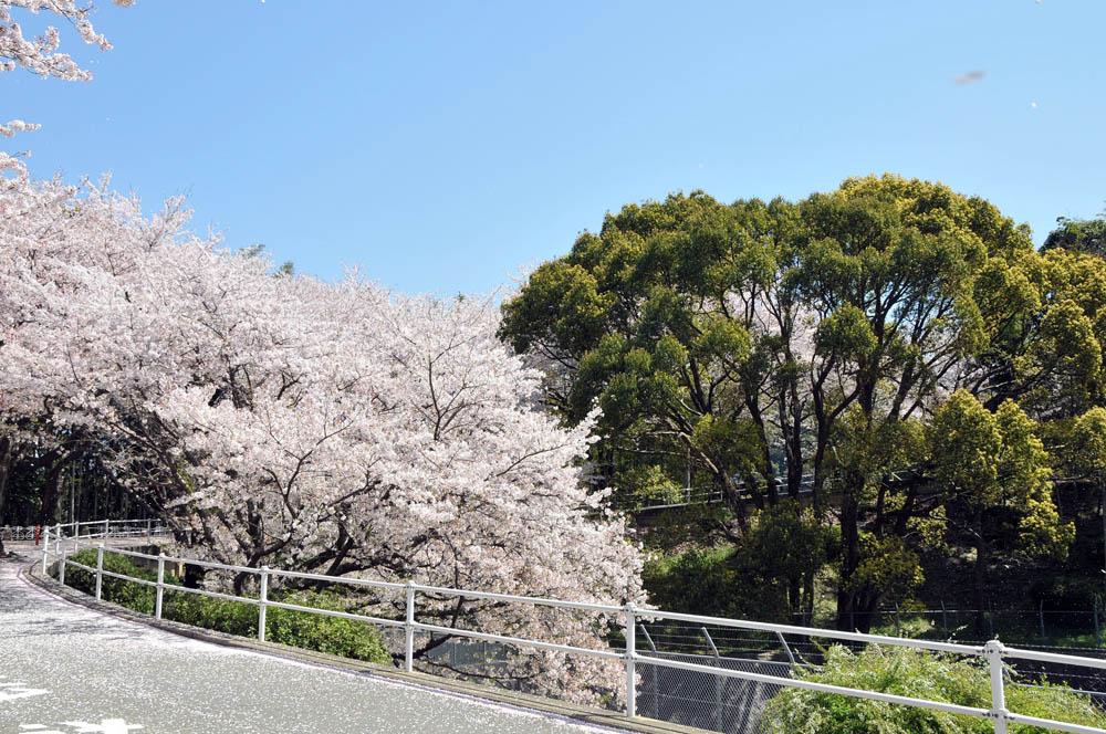 福女短・福岡国際大の桜 2014_a0042310_1139424.jpg