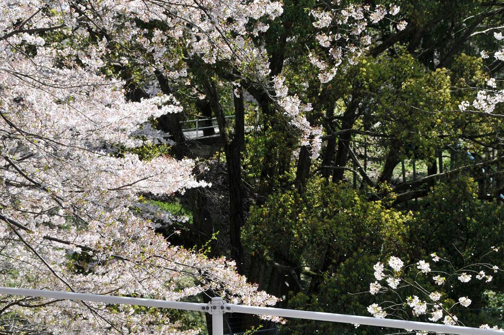 福女短・福岡国際大の桜 2014_a0042310_11401141.jpg