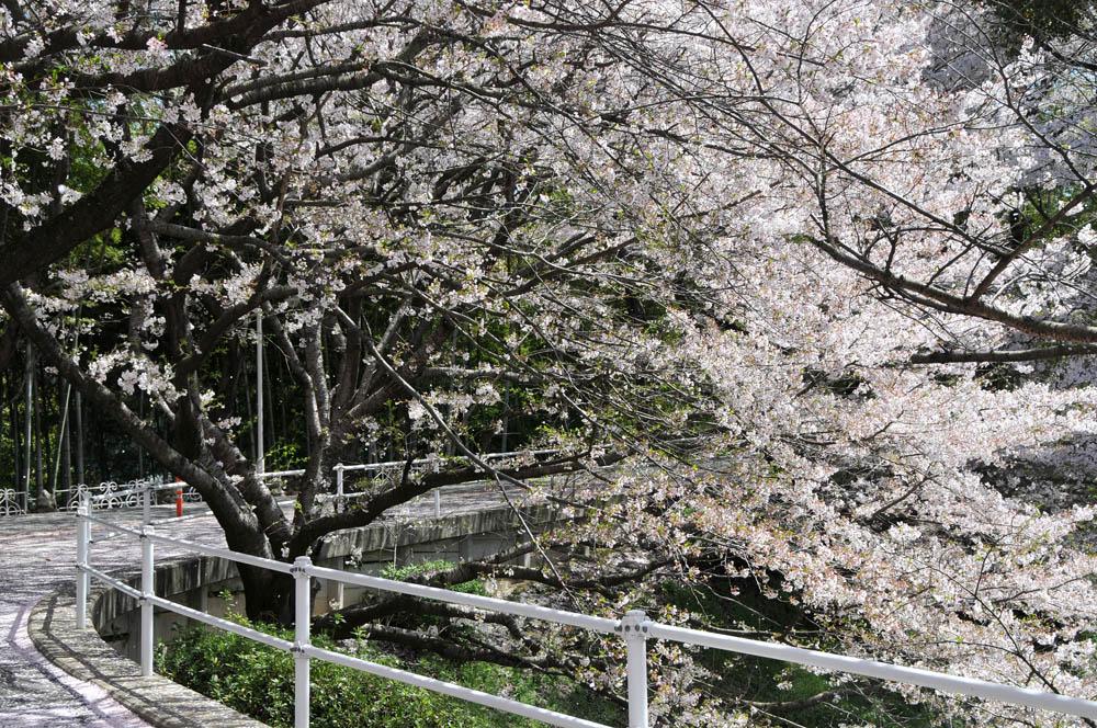 福女短・福岡国際大の桜 2014_a0042310_1140185.jpg