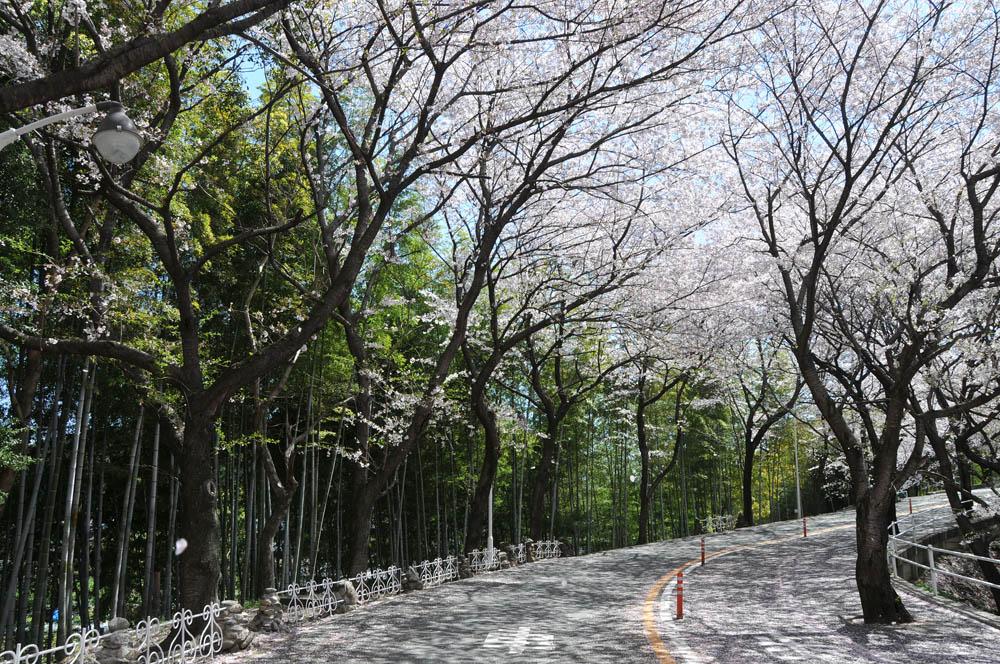 福女短・福岡国際大の桜 2014_a0042310_11402480.jpg