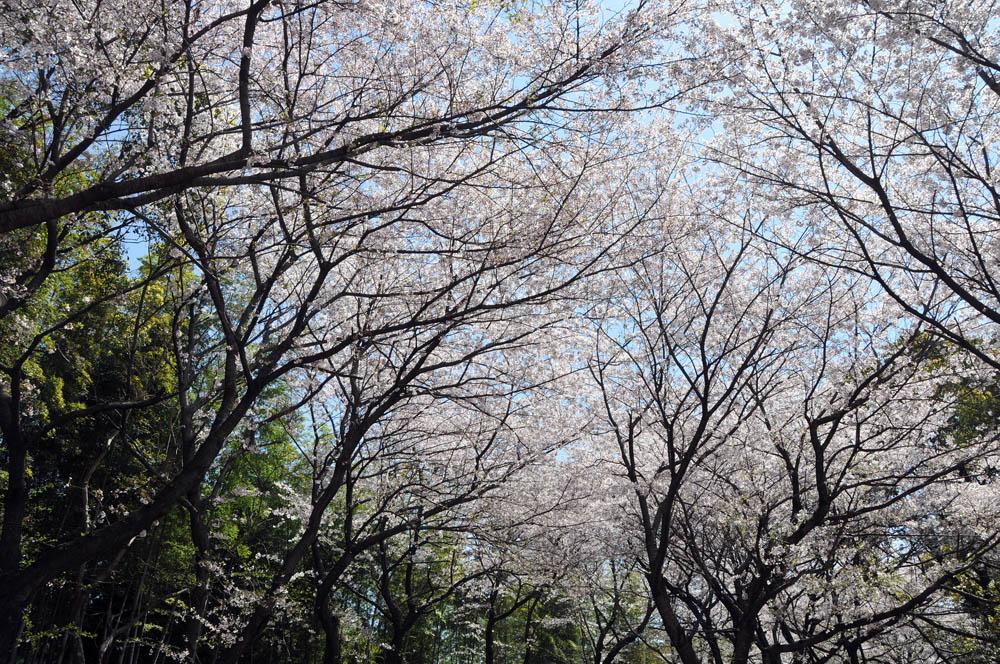 福女短・福岡国際大の桜 2014_a0042310_11403276.jpg
