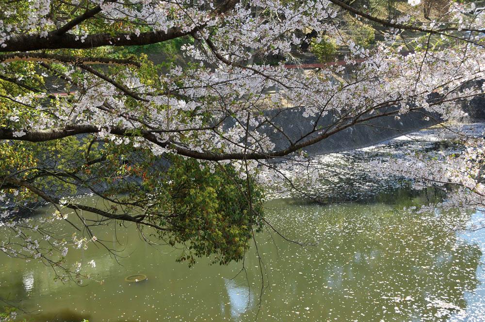 福女短・福岡国際大の桜 2014_a0042310_11404194.jpg