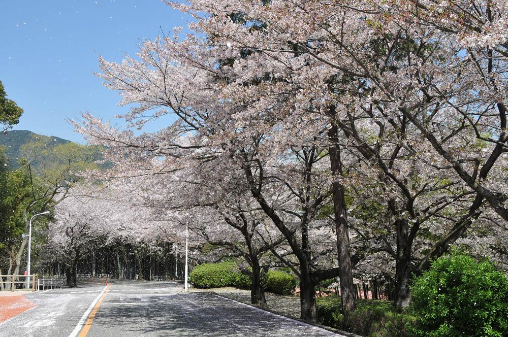 福女短・福岡国際大の桜 2014_a0042310_11442654.jpg