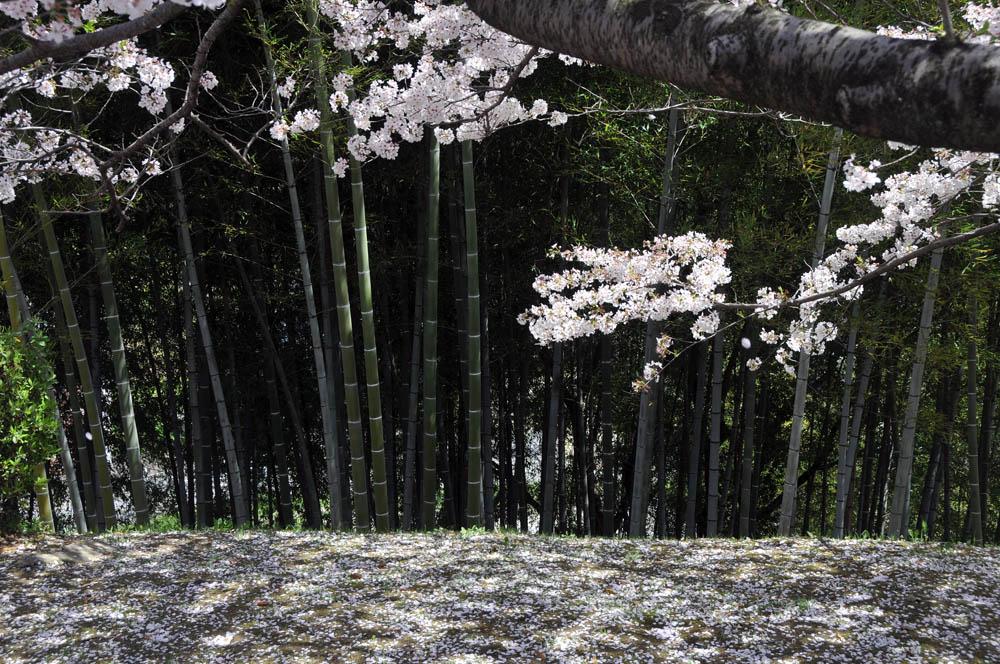福女短・福岡国際大の桜 2014_a0042310_11512841.jpg