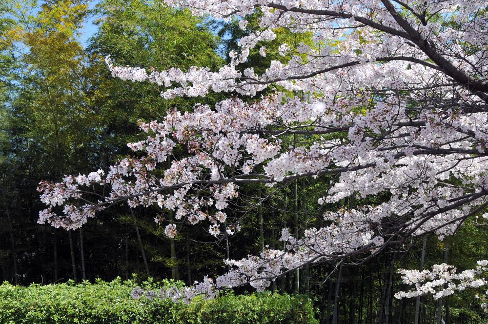 福女短・福岡国際大の桜 2014_a0042310_1151389.jpg