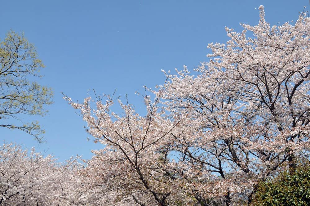 福女短・福岡国際大の桜 2014_a0042310_11515123.jpg