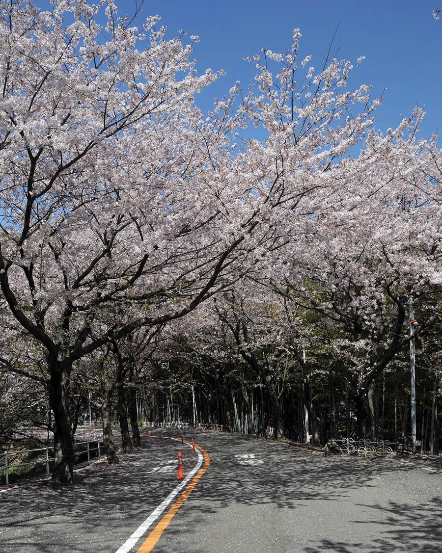 福女短・福岡国際大の桜 2014_a0042310_11535222.jpg