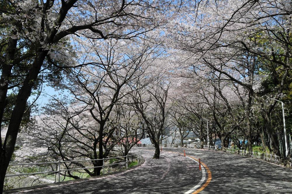 福女短・福岡国際大の桜 2014_a0042310_11543079.jpg