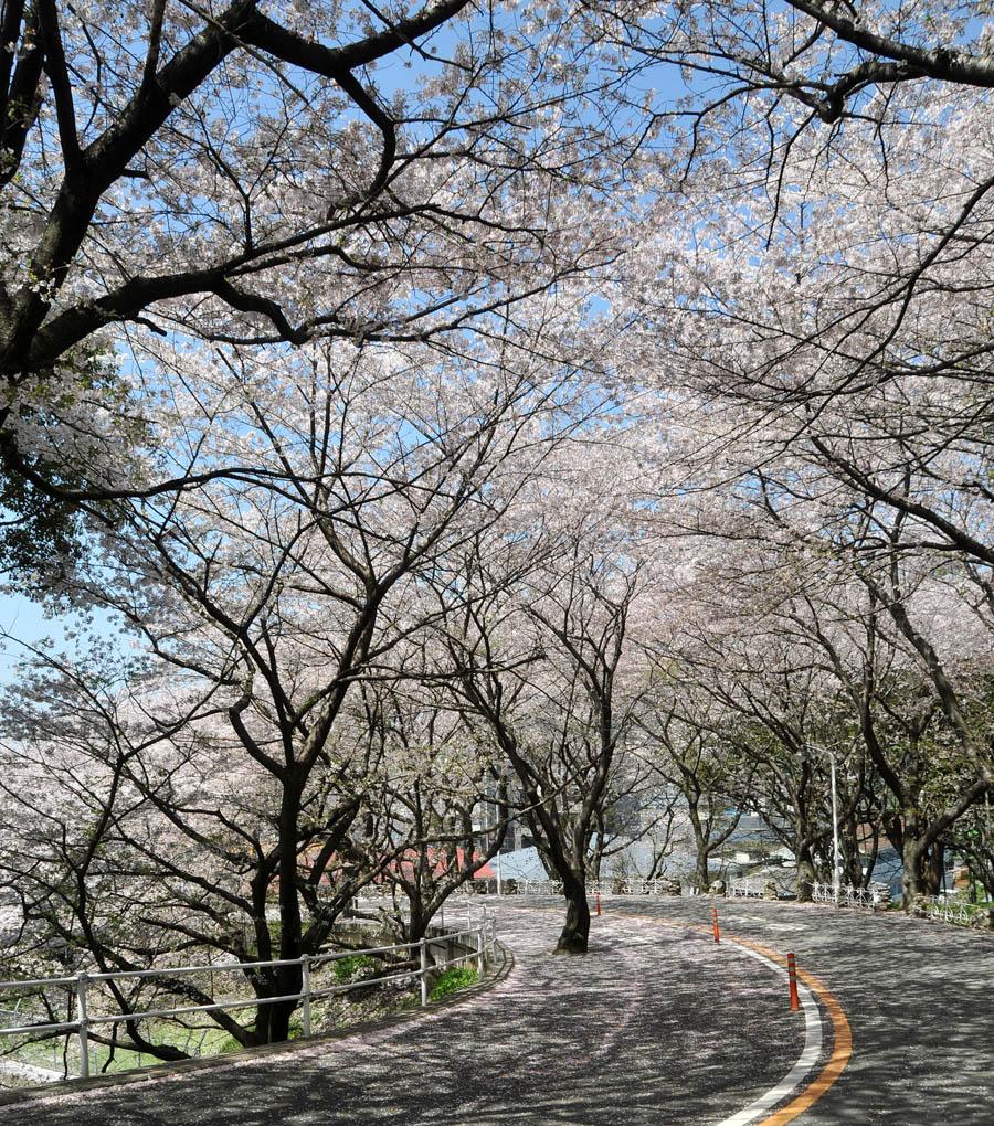 福女短・福岡国際大の桜 2014_a0042310_11544090.jpg
