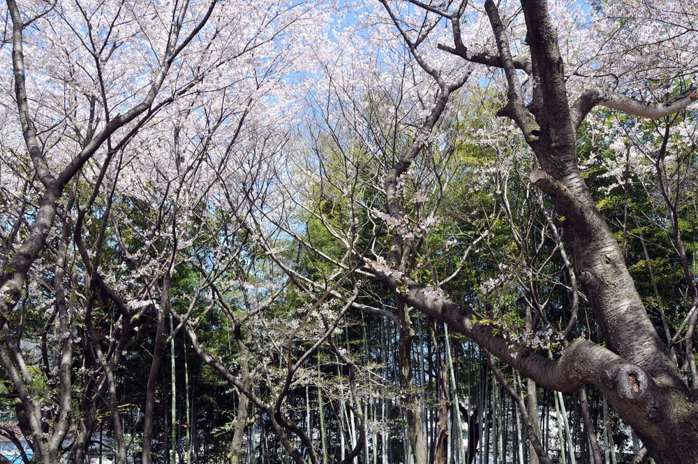 福女短・福岡国際大の桜 2014_a0042310_11544937.jpg