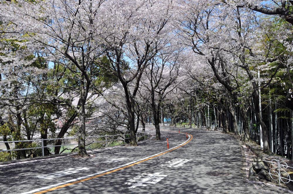 福女短・福岡国際大の桜 2014_a0042310_1154748.jpg