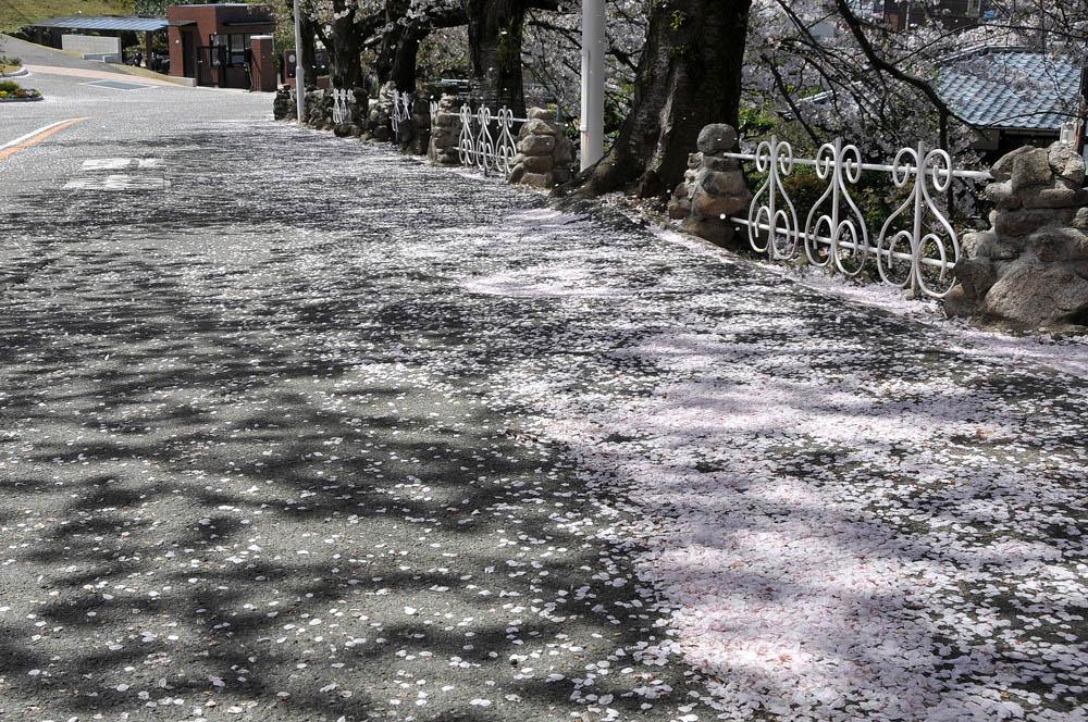 福女短・福岡国際大の桜 2014_a0042310_11555324.jpg