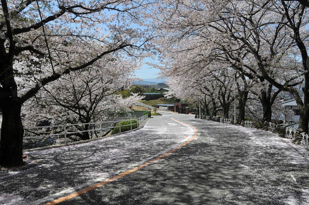 福女短・福岡国際大の桜 2014_a0042310_11561087.jpg