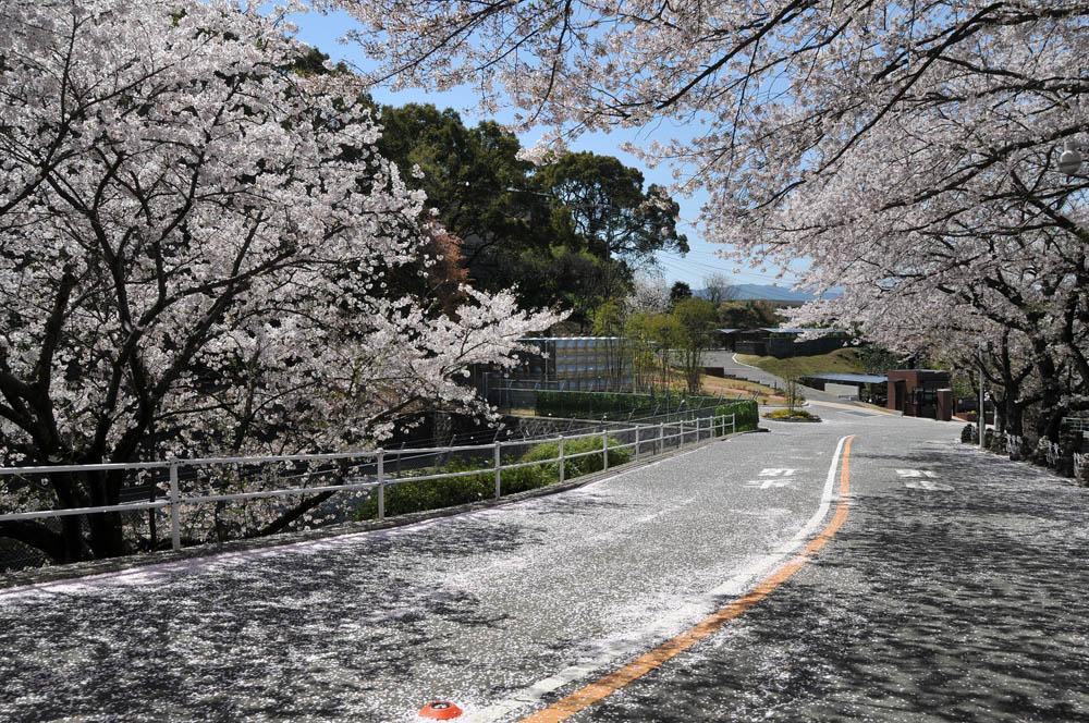 福女短・福岡国際大の桜 2014_a0042310_11572433.jpg
