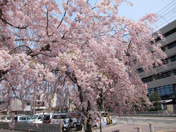 枝垂れ桜_b0068412_16565484.jpg