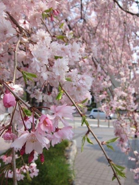 枝垂れ桜_b0068412_170972.jpg