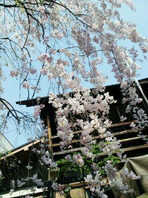 垂れ桜_d0049817_11160945.jpg