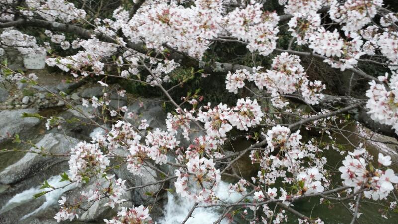 水間寺の桜_f0330437_231590.jpg