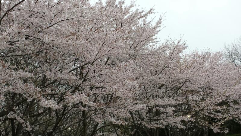 水間寺の桜_f0330437_23172330.jpg